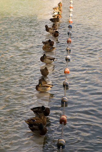 ducks_in_a_row